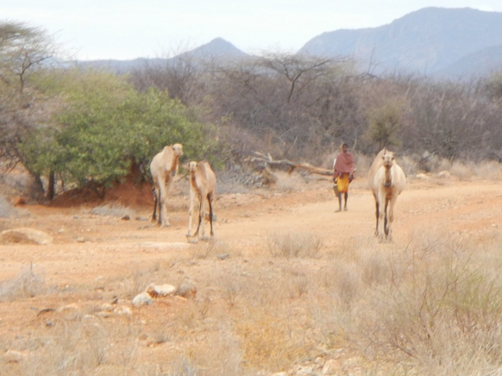 Camels thrive out here , train after train you pass , hundreds in number.